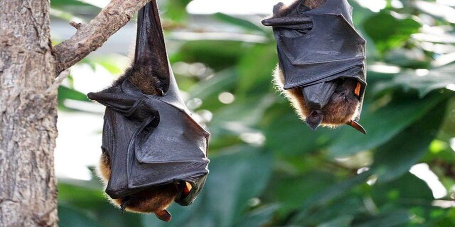 درمان جدید کرونا به کمک خفاشها!